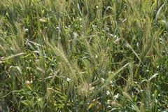 crops immagini stock libere da diritti