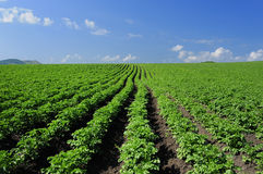 Free Crops And In The Furrow Stock Photo - 16785750
