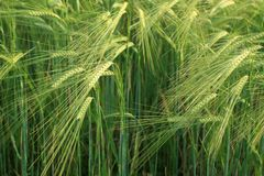 Crops background Stock Image