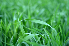 Crops Background Royalty Free Stock Photo