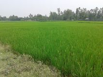 Crops  Bangladesh. A plurality of Bangladeshis earn their living from agriculture. Although rice and jute are the primary crops, Because of Bangladesh's Royalty Free Stock Photo