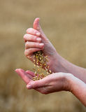 Crops of barley in the hands Stock Photography