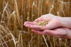 Crops of barley in the hands Royalty Free Stock Photography