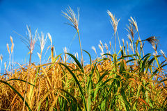 Crops on blue sky in Background Stock Photo
