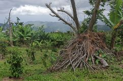 Crops and Brush at Recovering Coffee Plantation royalty free stock photography