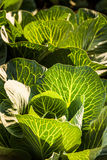 Crops of cabbage. On a field in Austria summer Stock Photography