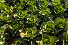 Crops of cabbage. On a field in Austria summer Royalty Free Stock Photography