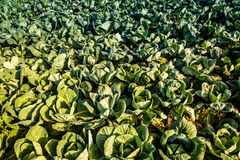 Crops of cabbage. On a field in Austria summer Stock Photo