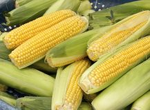 The crops of corn Royalty Free Stock Photo