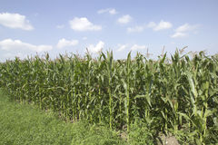 Free Crops Countryside Stock Image - 4148351