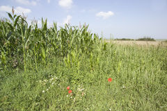 Crops countryside Royalty Free Stock Photo