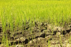 Crops on dry ground Stock Photography