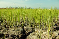 Crops are on dry ground Stock Photo