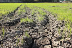 Crops are on dry ground. Crops try to grow on dry ground Stock Images