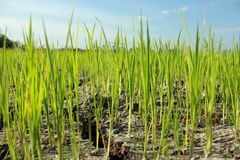Crops are on dry ground Stock Image