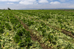 Crops drying from drought Royalty Free Stock Photography