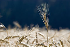 Crops in a field. Yellow crops in a field ready to be harvested Royalty Free Stock Photo