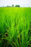 The crops in the field, Royalty Free Stock Photography
