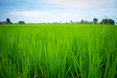 The crops in the field, Royalty Free Stock Photos