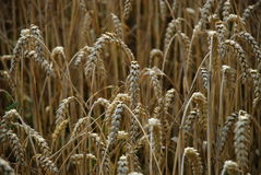 Crops field. A crops field in the central part of the Czech Republic. Photo taken close to Beroun, Czech Republic Stock Image