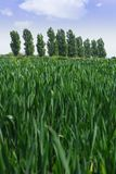 Crops in the field. Young crops growing in a field, with row of trees in the distance (focus on trees stock photography
