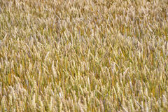 Crops Royalty Free Stock Photos