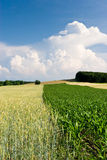 Crops in the Field with Clouds Stock Photo
