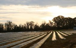 Crops in a field covered for protection from frost. A large field of crops covered with plastic to protect them from harsh winter weather Stock Image