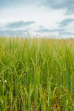Crops on a field. Fresh grown crops on a green field Royalty Free Stock Image