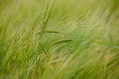 Crops on a field. Fresh grown crops on a green field Royalty Free Stock Images