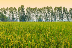 The crops in the field, Stock Photo
