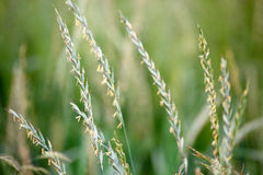 Crops in a field Royalty Free Stock Photography