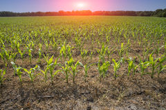 Crops at a field Royalty Free Stock Image