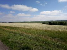 Crops in the fields of Altai stock photo