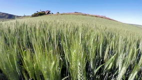 Crops of fields of wheat close up stock video