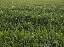 Crops of the grain Stock Photos