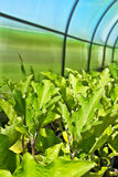 Crops in the greenhouse Royalty Free Stock Photo