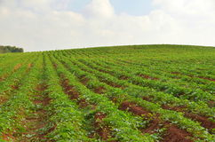 Crops growing on fertile farm land Royalty Free Stock Image