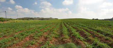 Crops growing on fertile farm land in Israel. Crops growing on fertile farm land in an Israeli kibbutz Royalty Free Stock Photo