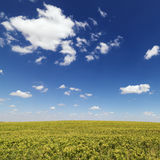 Crops Growing in a Field Royalty Free Stock Image