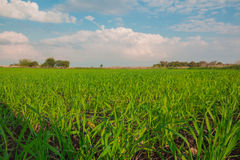 Crops growing in a field in the countryside Stock Image