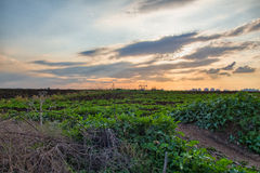 Crops growing in a field in the countryside during sunset Stock Photos
