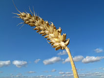 Crops - harvest Stock Photography