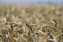 Crops before harvest. Rural background Stock Photography
