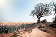 Crops on hot arid parched farmland during dry weather heatwave. Crops growing on hot arid parched farmland during dry weather heatwave. Scorched land stock photography