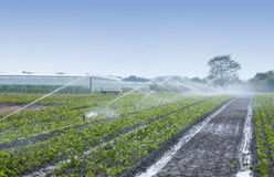Crops irrigation. Watering crops with Irrigation system using sprinklers on a strawberry field Royalty Free Stock Image
