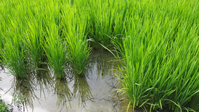 Crops. Japanese rice paddy at Kameoka Kyoto Japan Royalty Free Stock Image