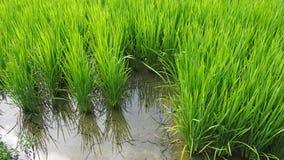 Crops. Japanese rice paddy at Kameoka Kyoto Japan Royalty Free Stock Image