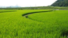 Crops. Japanese rice paddy at Kameoka Kyoto Japan Stock Photo