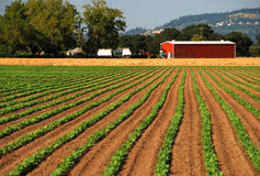 Crops Leading to Red Barn. Rows of planted crops lead to a vibrant red barn Stock Photos